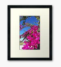 Bougainvillea - triple flower Framed Print