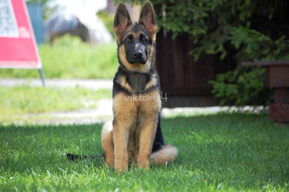 German Shepherd 7 by viktor64