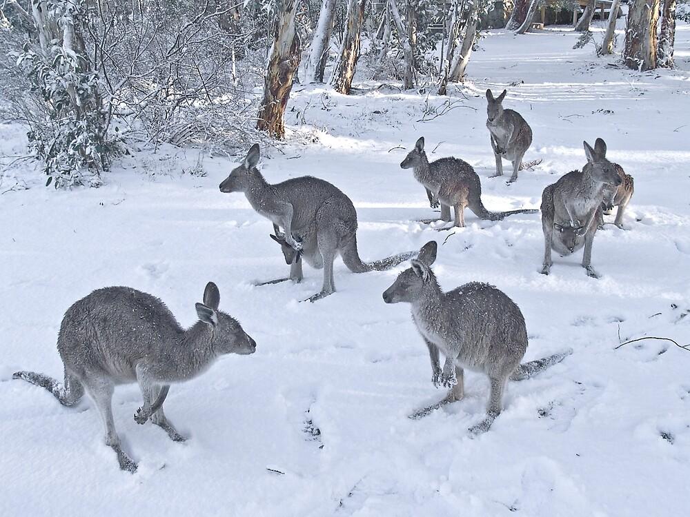 Eastern Grey kangaroos in snow, Snowy Mountains, Australia