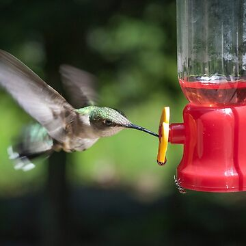 Hummingbird - Nottingham, NH by cooksee