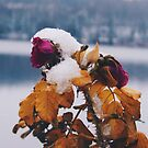Frozen Rose by asylumspirit