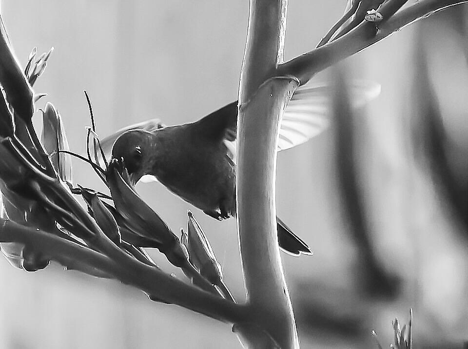 Black And White Hummingbird  by JodiSharp