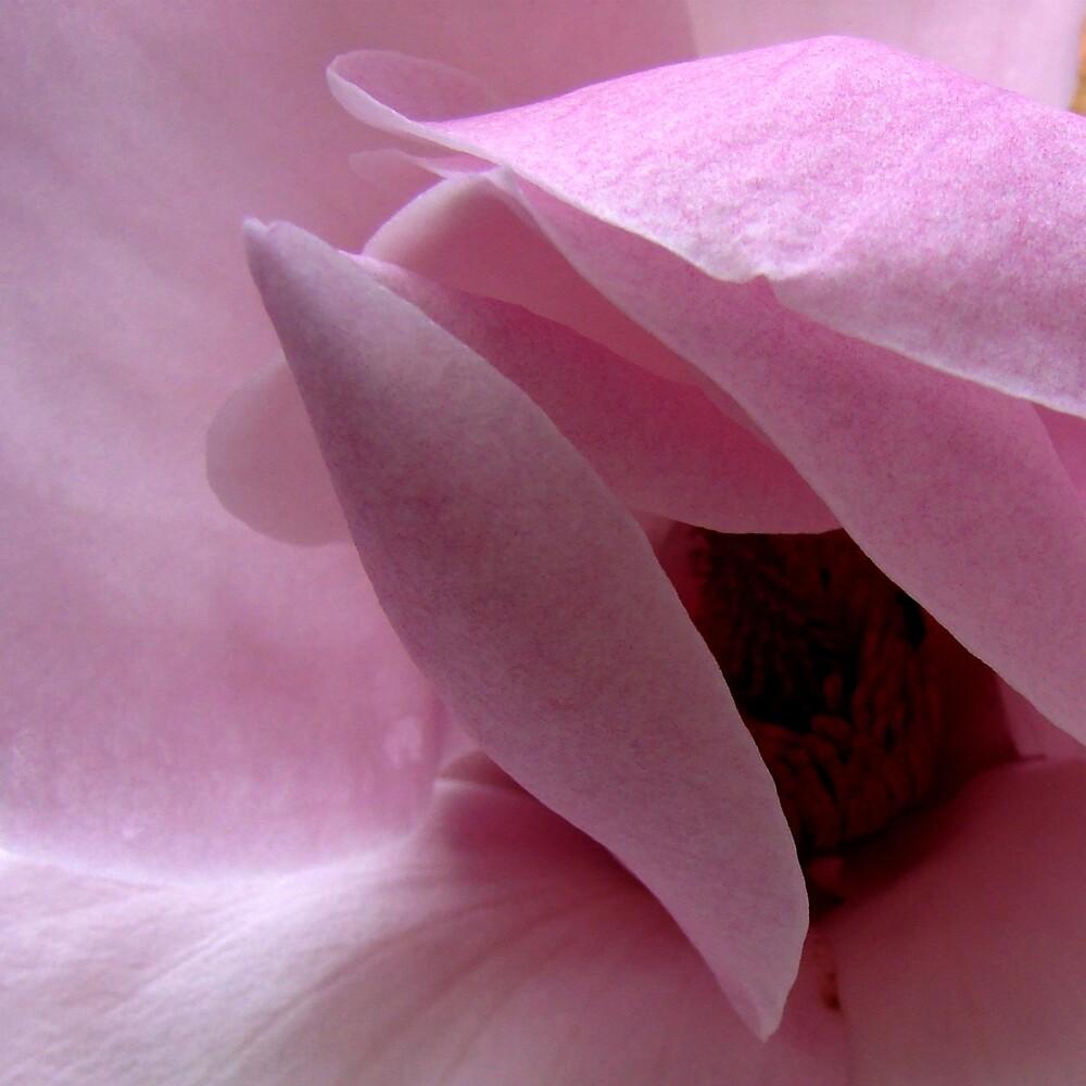 "Magnolia 'Gretel Eisenhut"" by patw"