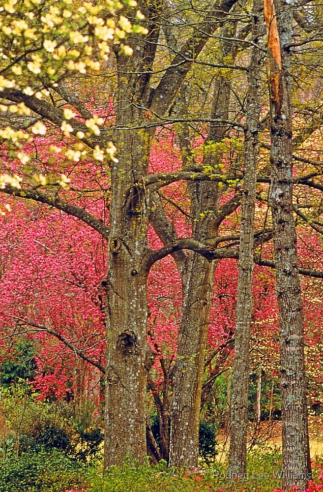 Dogwoods Behind Oaks by Rodney Lee Williams