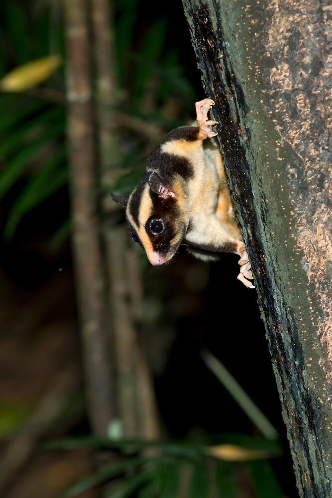 Striped Possum by Rob Drummond