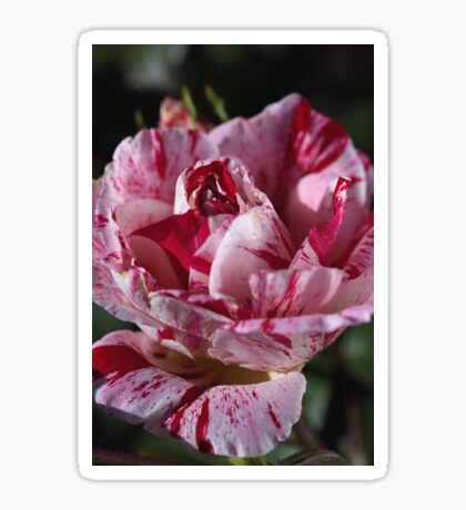 Delight Of The Variegated Rose Sticker