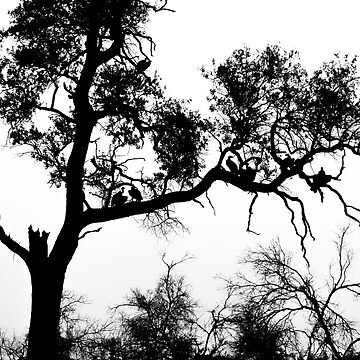 African White-backed Vultures in Silhouette by GrahamPrentice