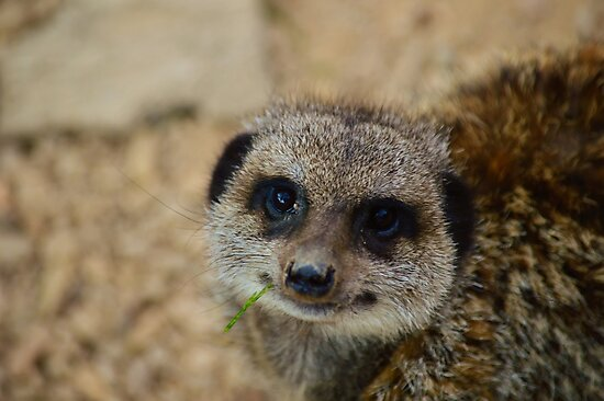 Munching Meerkat  by 24Photography