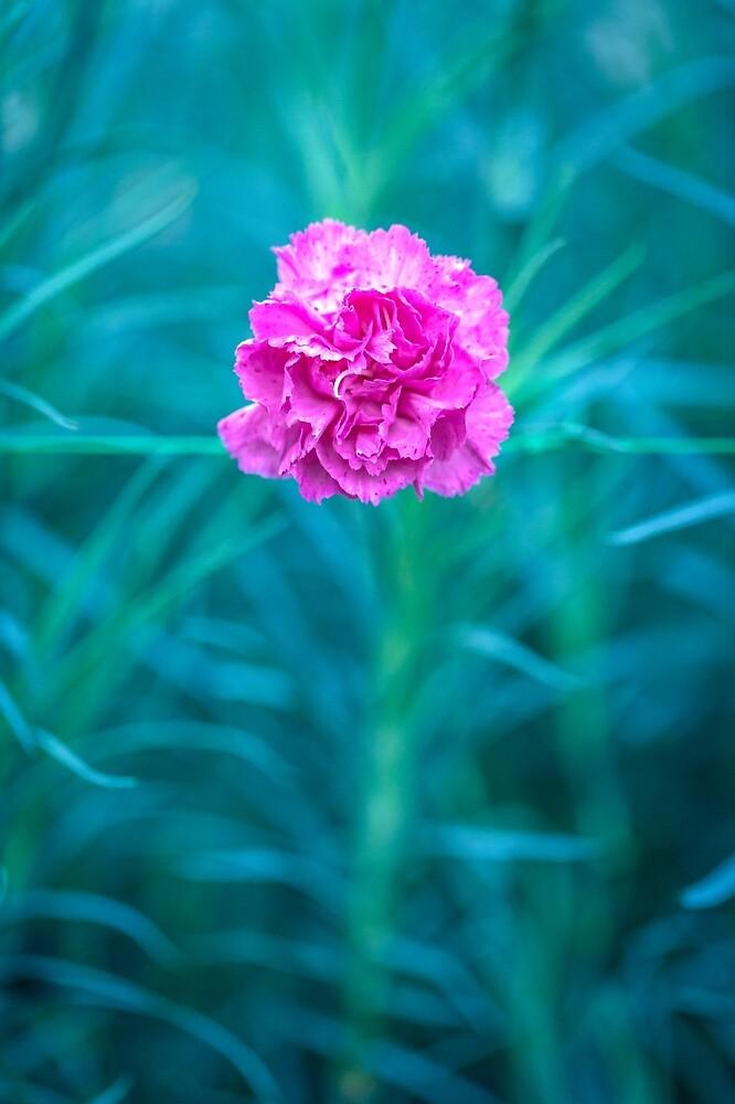Carnation recuperation. by alan shapiro