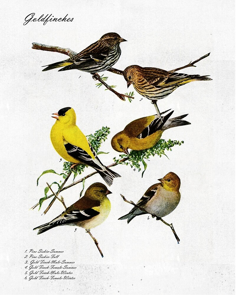 Gold Finches and Pine Siskins by Thomas Terceira