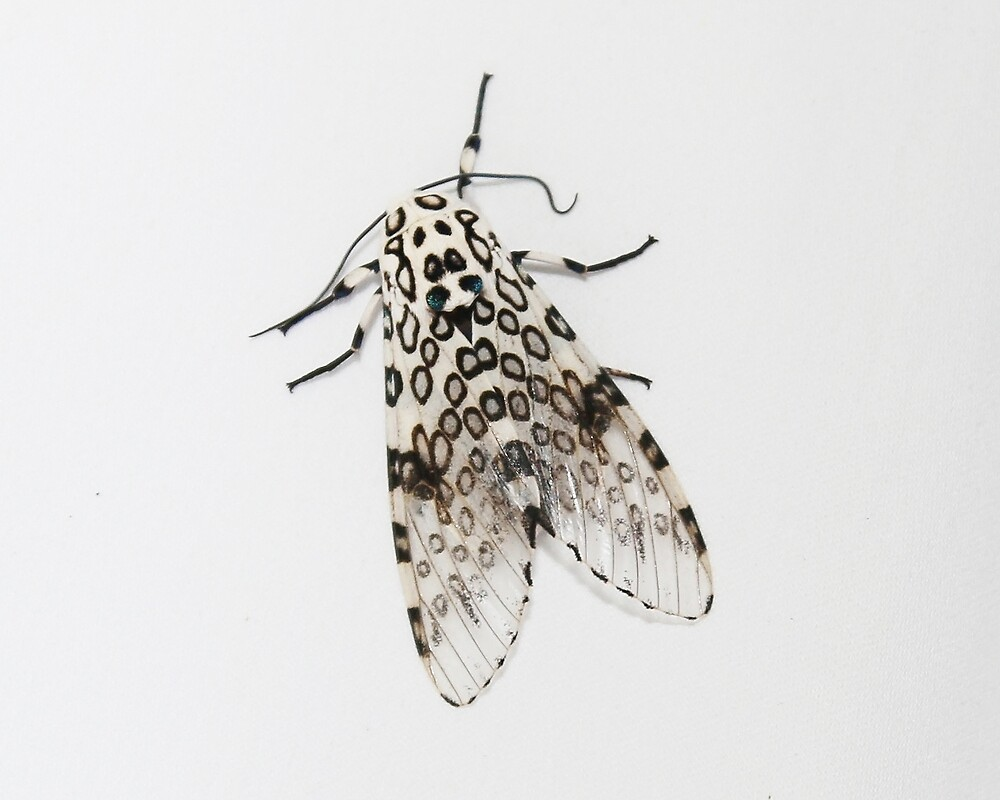 Giant Leopard Moth by Alice Kahn