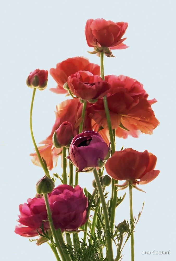 Delicate Ranunculus  by anadawani