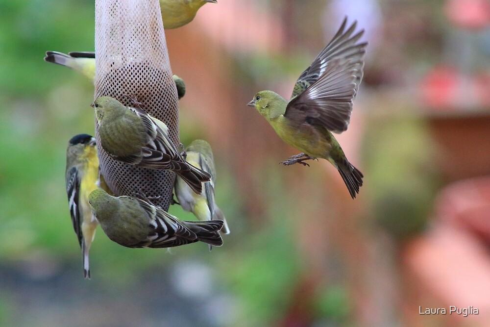 Finches! by Laura Puglia