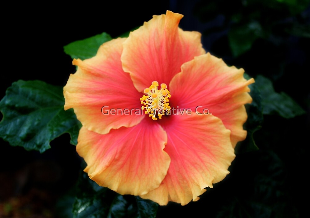 Hibiscus by General Creative Co.