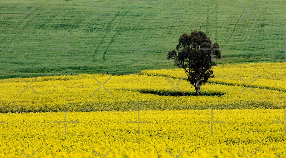 Canola Field w/Single Tree, York W.A. by Sandra Chung