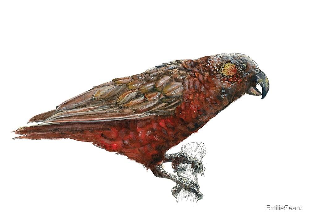 Mr Kaka, New Zealand native parrot by EmilieGeant