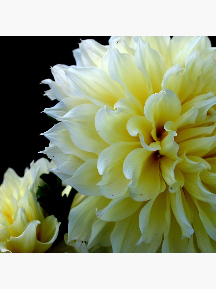 Yellow Dahlia from A Gardener's Notebook by douglasewelch