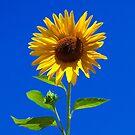 Sunflower, iphone case by Eyal Nahmias