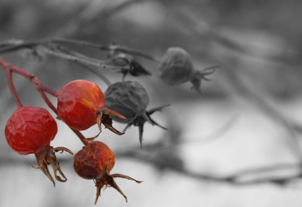 Red Berries in Winter by punkprouvaire