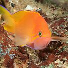 Squarespot Anthias, Papua New Guinea by Erik Schlogl