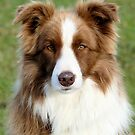 Chocolate Collie   by AndreaEL