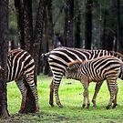 Dubbo Zebra  by mspfoto