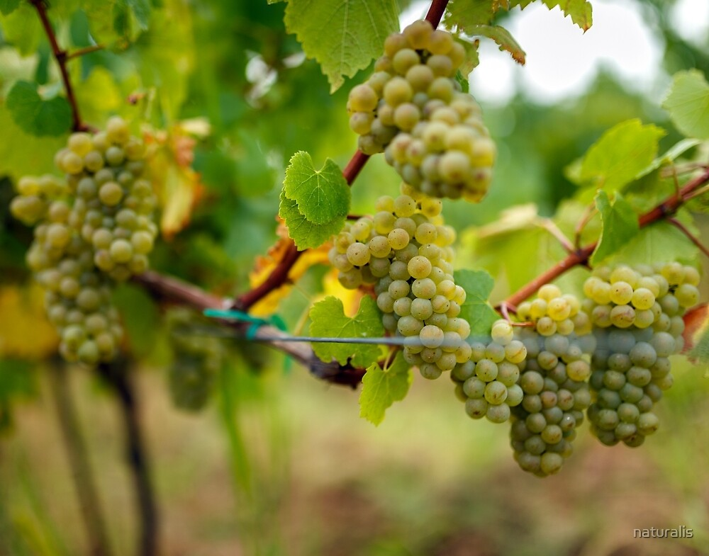 Ripening grapes on the vine by naturalis