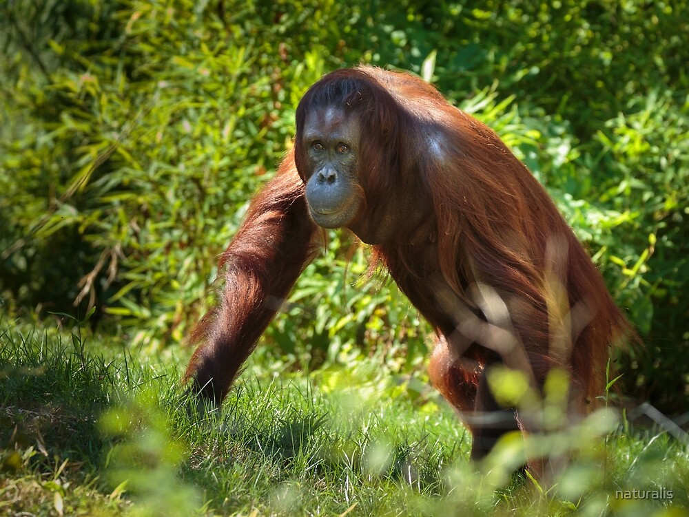 Orangutan in the forest by naturalis