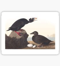 Surf Scoter - John James Audubon  Sticker
