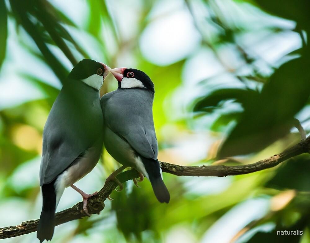 Java sparrows mating ritual by naturalis