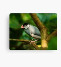 Java sparrow on a branch Canvas Print