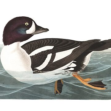 Barrow's Goldeneye - John James Audubon  by billythekidtees