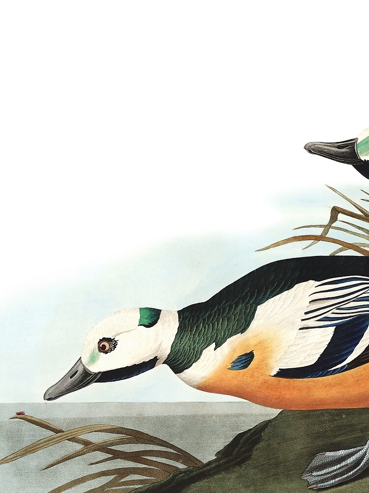 Steller's Eider - John James Audubon  by billythekidtees