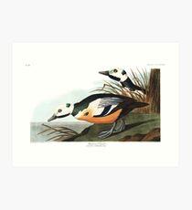 Steller's Eider - John James Audubon  Art Print