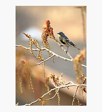 Yellow Rumped Warbler In Spring Photographic Print