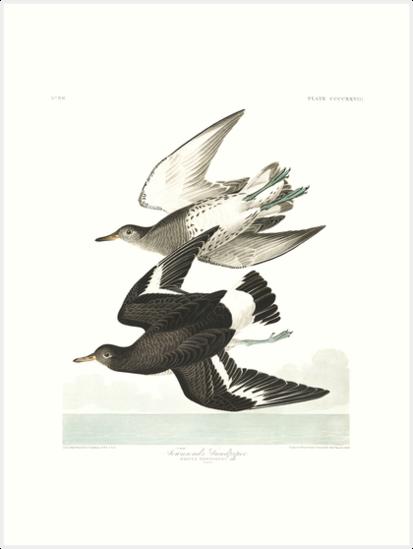 Surfbird - John James Audubon by billythekidtees