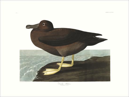 Sooty Albatross - John James Audubon by billythekidtees