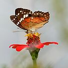 Coolie Butterfly  (Anartia amathea)   -  Napo River Ecuador by john  Lenagan