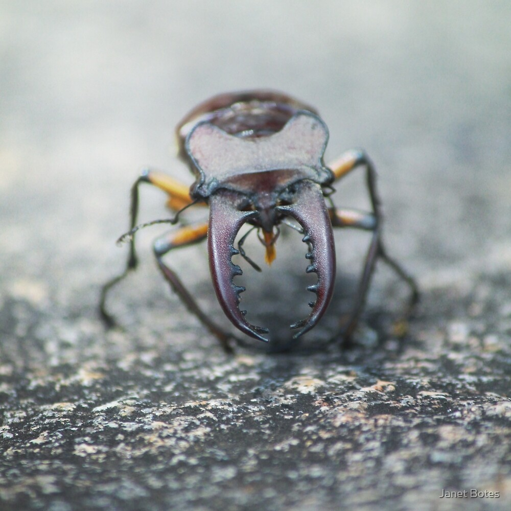 """""""Kewer"""" - Beetle on a boulder by Janet Botes"""