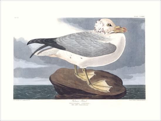 Northern Fulmar - John James Audubon by billythekidtees