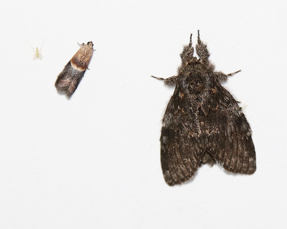 Two Moths by Alice Kahn
