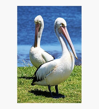 Two Pelicans Photographic Print