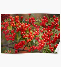 red berries in the garden Poster