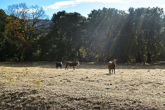 Cows, Santa Ysabel, California by Mike Kunes