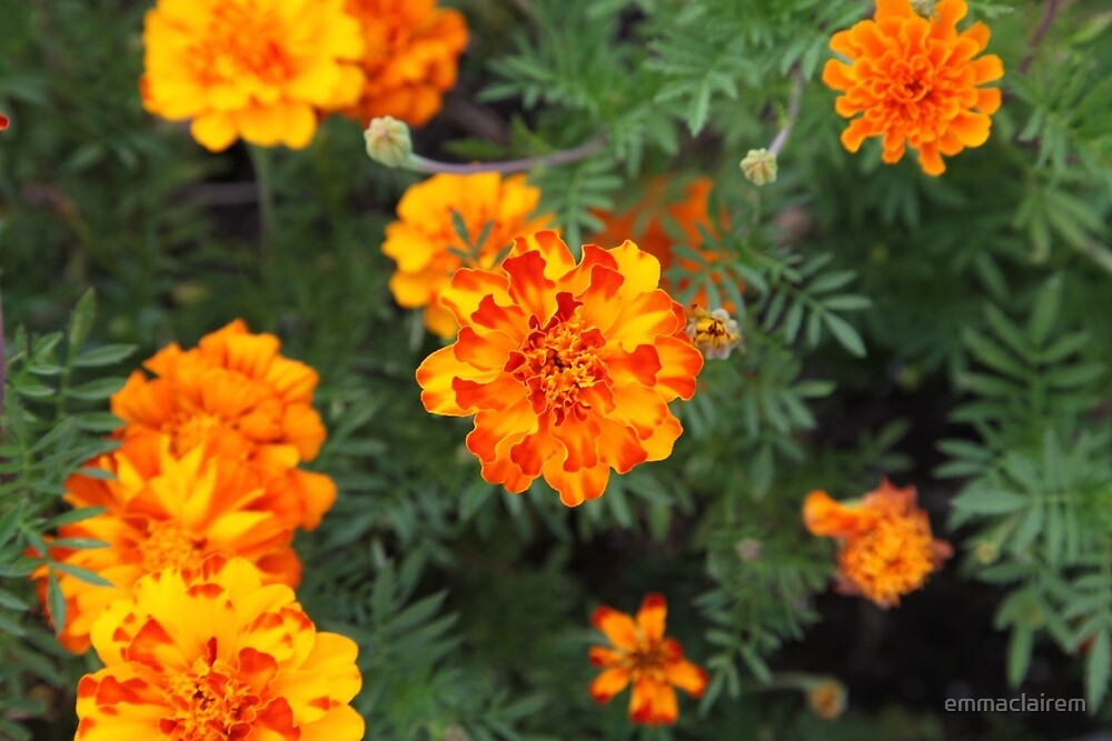 Marigolds by emmaclairem