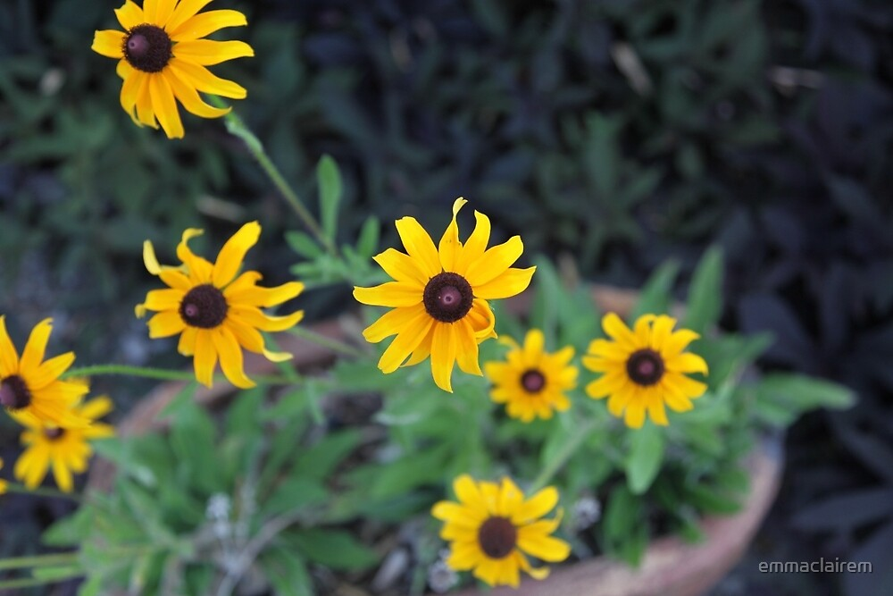 Blackeyed Susans by emmaclairem
