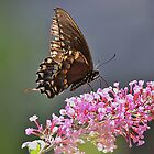 Black Swallowtail and pink flowers by Linda Crockett