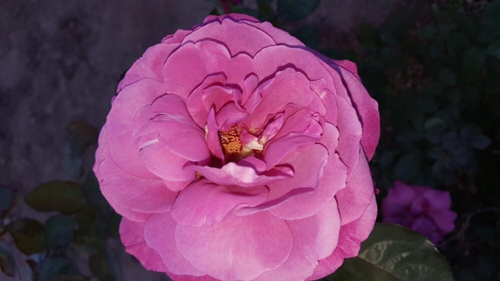 Pretty in Pink Rose by MisfitsRehab