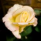 Yellow rose by DBigwood