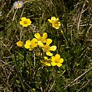 Granite buttercups, Snowy Mountains, Australia by DBigwood